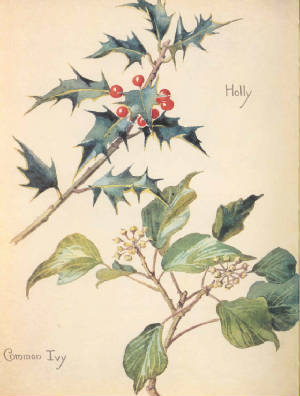 holly and common ivy. EBH [click for larger image]